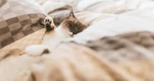 アドレナリンのせいで眠れない猫の画像