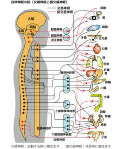 副交感神経が活発になり、心拍数は減り、胃腸の働きは活発になっているイメージ画像