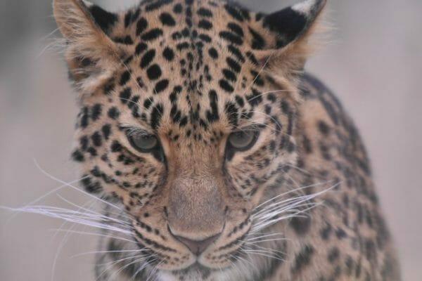 ストレスでアドレナリンが出ている虎の画像