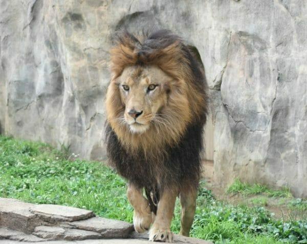 戦闘モードでアドレナリンが分泌されているライオンの画像