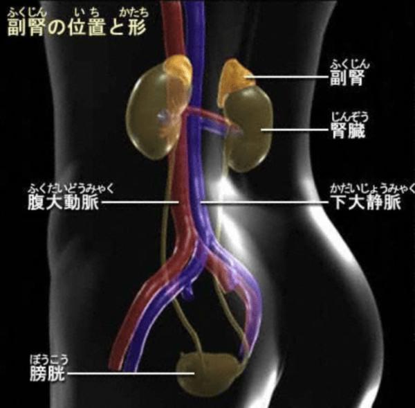 副腎でコルチゾールを作っているイメージ