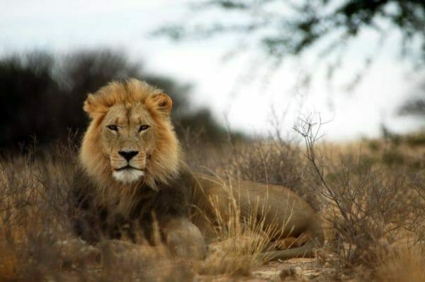 ライオンに遭遇してアドレナリンが出ているイメージ