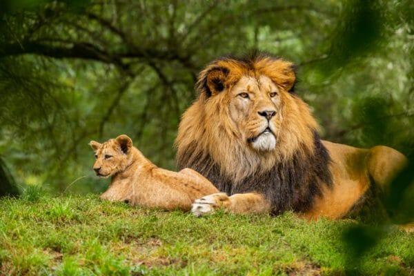 私たちにアドレナリンを分泌させて戦闘モードにさせる猛獣のライオンのイメージ