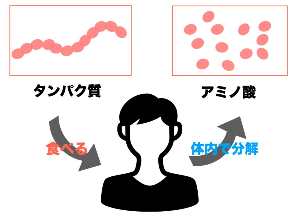 タンパク質を食べてアミノ酸に分解されるまでの過程をわかりやすく表した画像