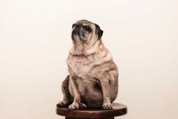 糖質の高い焼き芋を食べ過ぎて太ってしまった犬のイメージ