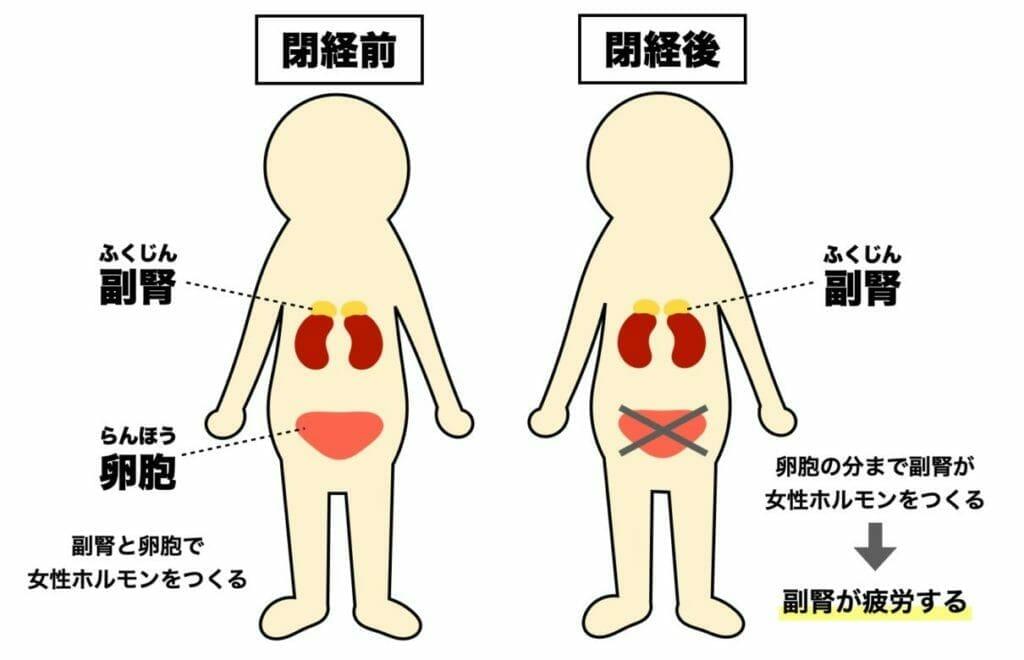 更年期で太ってしまう原因は副腎が女性ホルモンを分泌しすぎて疲れていることに関係していると表した図