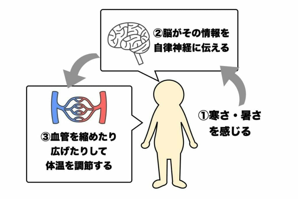 体温がつくられるメカニズムについて自律神経がどのような働きをしているのか説明した画像